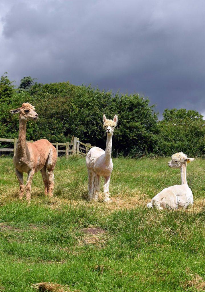 Alpaca your bags sacrewell for Alpaca view farm cuisine