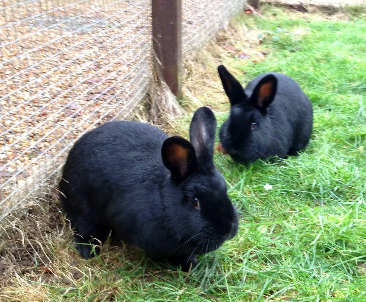 Are Black Rabbits Lucky Too Sacrewell Farm