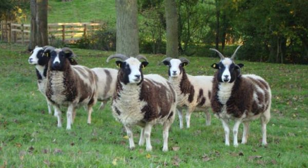 Why do some sheep have horns and others don't? | Sacrewell Farm