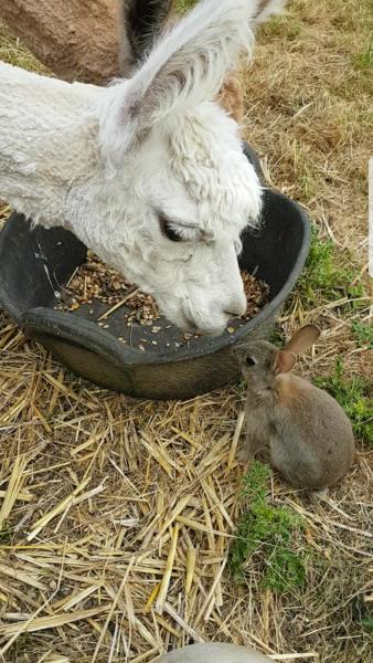 Alpaca and bunny sacrewell for Alpaca view farm cuisine